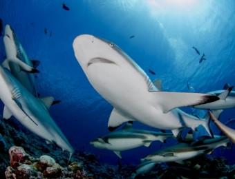 Shark Counting Program